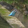 Photos: カワセミ幼鳥♂_7165