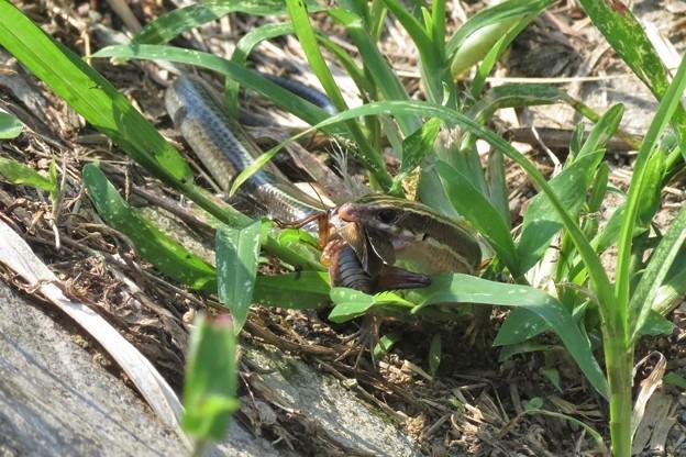 コオロギを食うニホントカゲ_7233