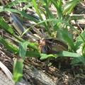 Photos: コオロギを食うニホントカゲ_7233