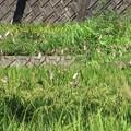 稲穂を食うスズメ達_7318