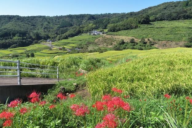 Photos: 内成棚田の彼岸花_7556