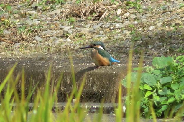 Photos: カワセミ幼鳥♂_7593