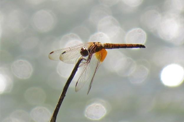 ベニトンボ♀_7796