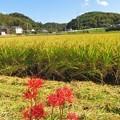 Photos: 稲刈り_7944