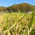稲刈り_7946