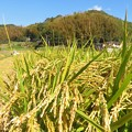 Photos: 稲刈り_7946