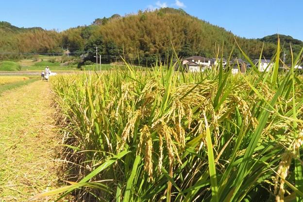 稲刈り_7948
