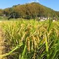 Photos: 稲刈り_7948