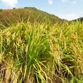 Photos: 稲刈り_8048