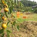Photos: 芋掘り_8099