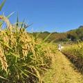 Photos: 稲刈り_8181