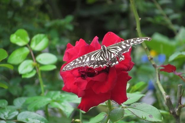 薔薇にナミアゲハ_8139