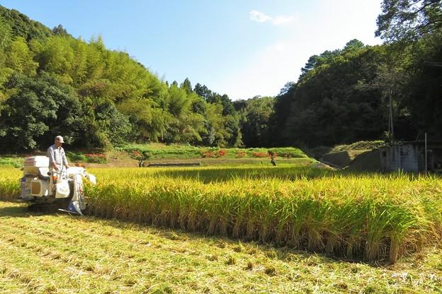 稲刈り_8252