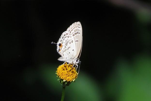 クロマダラソテツシジミ♀_8344