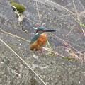 カワセミ幼鳥♂_8572