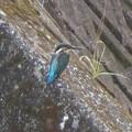 カワセミ幼鳥♂_8573