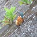 カワセミ幼鳥♂_8662