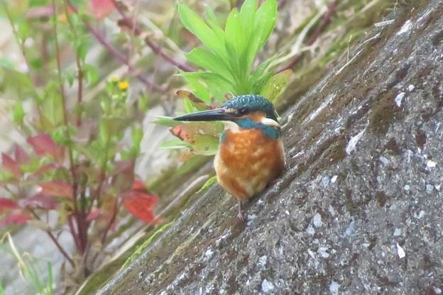 カワセミ幼鳥♂_8672