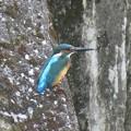 カワセミ幼鳥♂_8679
