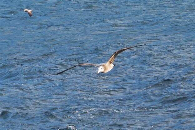 ウミネコ幼鳥_9747