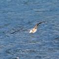Photos: ウミネコ幼鳥_9747