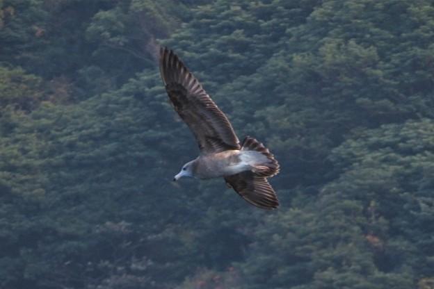 ウミネコ幼鳥_9750