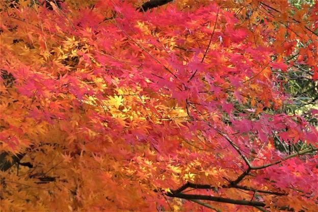モミジ紅葉_9904