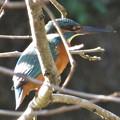 カワセミ♀幼鳥_9982