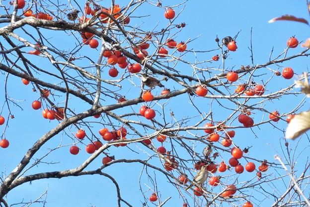 柿ツグミ_0128