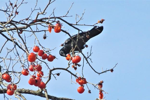 柿カラス_0131