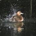 カイツブリ水浴び_0351