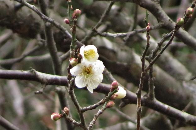 豊後梅開花_0423