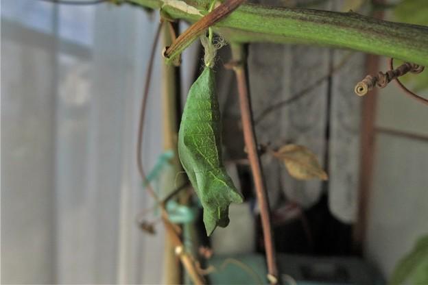 アゲハチョウの蛹_1268