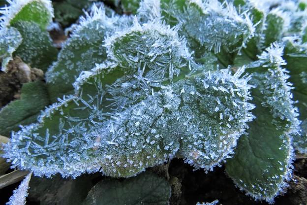 ヒナゲシの葉の霜_1626