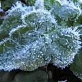 Photos: ヒナゲシの葉の霜_1626