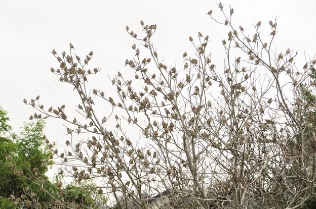 スズメが生る木_1827