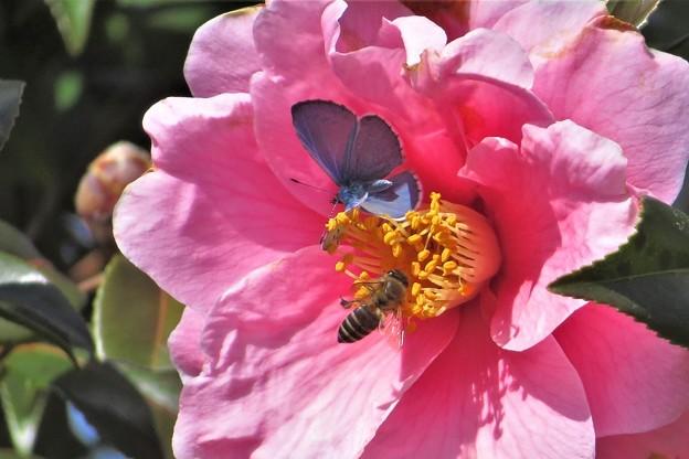 ルリシジミ&蜜蜂_2139