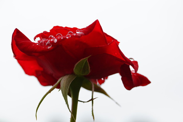 A Wet Red Rose