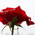 写真: A Wet Red Rose