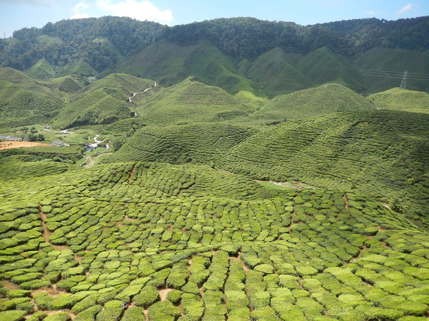 茶畑-Cameron Highlands