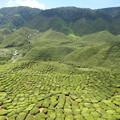写真: 茶畑-Cameron Highlands