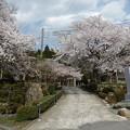 写真: 福井県若狭町 福乗寺 楊貴妃桜