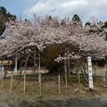 写真: 楊貴妃桜
