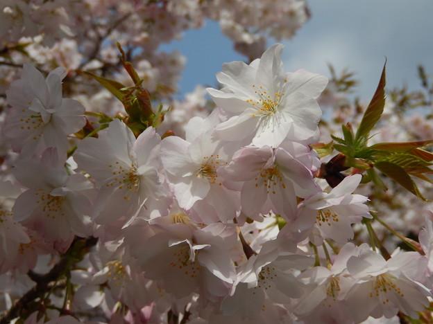 楊貴妃桜 八重咲き