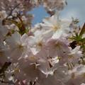 写真: 楊貴妃桜 八重咲き