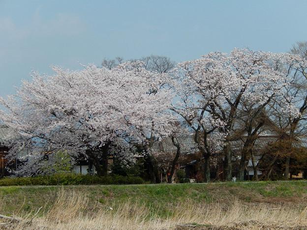 浄立寺 桜大木