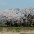 写真: 浄立寺 桜大木