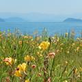 写真: 黄花畑 琵琶湖