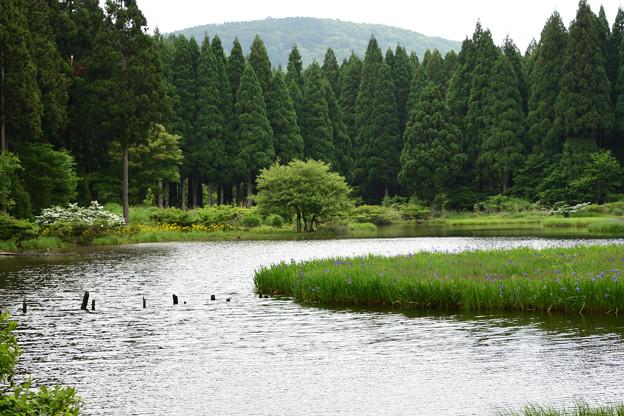 平池 カキツバタ 高原