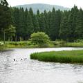 写真: 平池 カキツバタ 高原